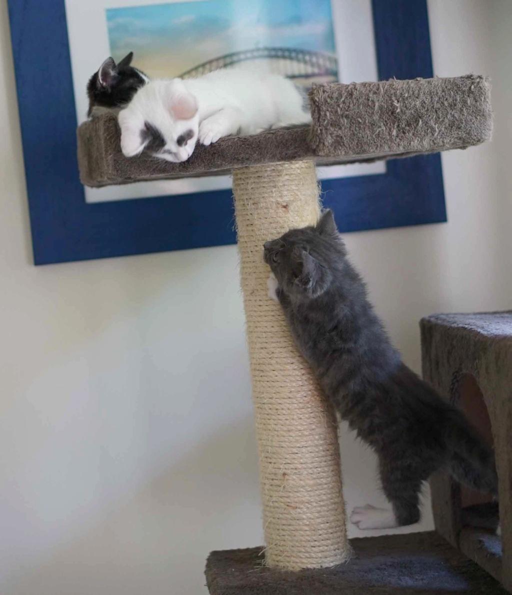 ORINE, chatonne européenne grise&blanche, née le 15/05/18 Orine_20