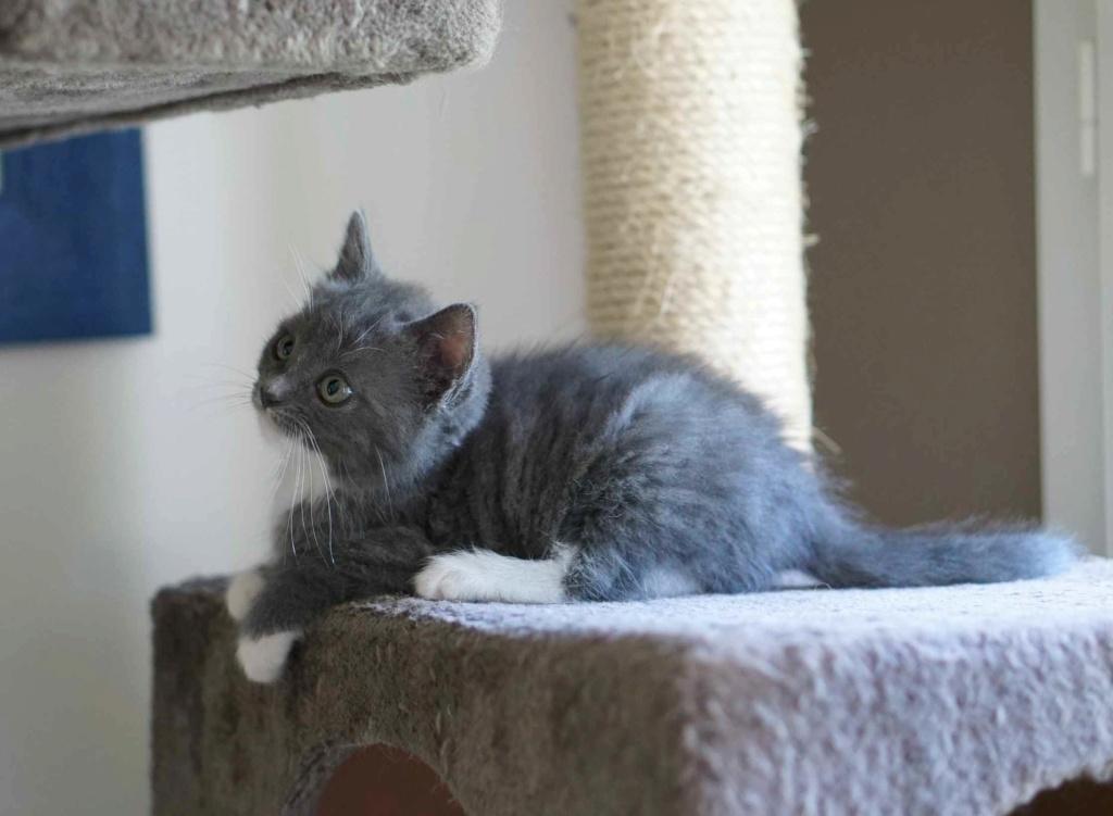 ORINE, chatonne européenne grise&blanche, née le 15/05/18 Orine_21