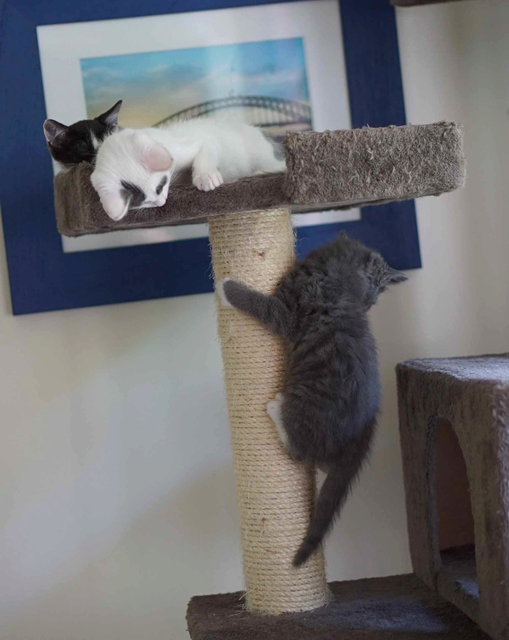 ORINE, chatonne européenne grise&blanche, née le 15/05/18 Orine_22