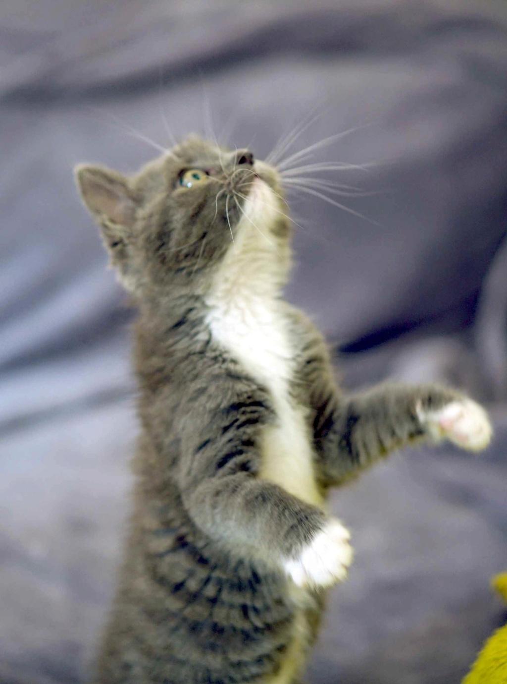 ORINE, chatonne européenne grise&blanche, née le 15/05/18 Orine_23