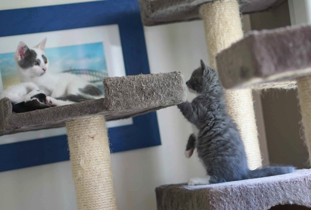 ORINE, chatonne européenne grise&blanche, née le 15/05/18 Orine_25