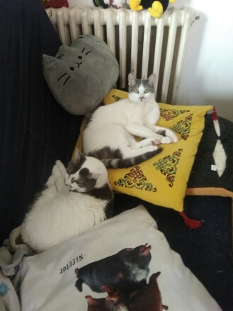 OXYGENE chatonne européenne blanche et grise née le 1/8/18 Orion_10