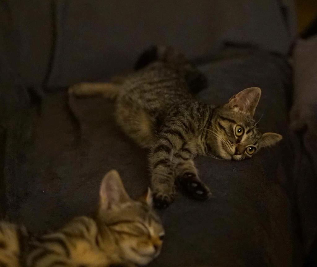 OSMOSE, chatonne européenne marron tabby, née le 29/05/18 Osmose12