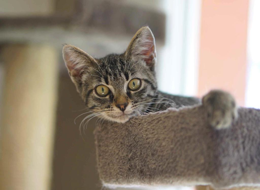 OSMOSE, chatonne européenne marron tabby, née le 29/05/18 Osmose18