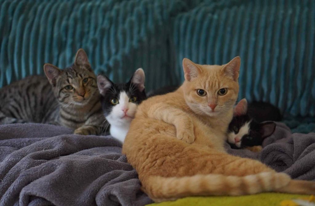JOALINE, chatte européenne roux tabby, née le 28/08/14 Ostimo33