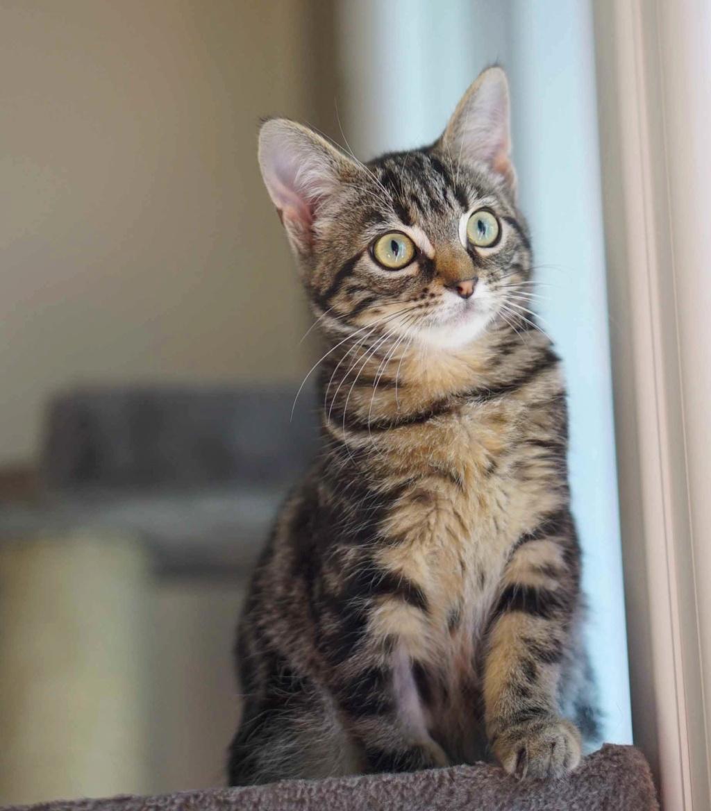 OUEGA, chatonne européenne marron tabby, née le 29/05/18 Ouega_13