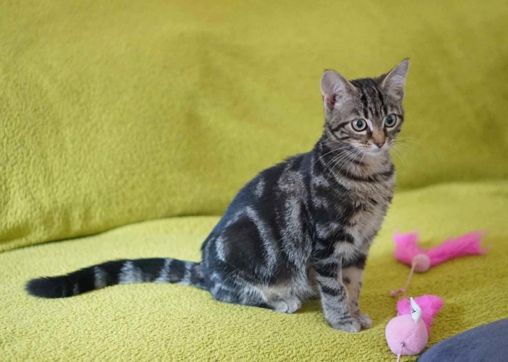 OUEGA, chatonne européenne marron tabby, née le 29/05/18 Ouega_16