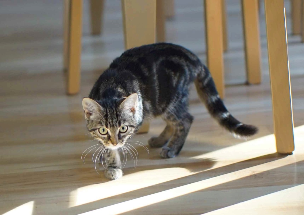 OUEGA, chatonne européenne marron tabby, née le 29/05/18 Ouega_17