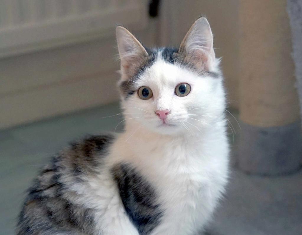 OXLAY, chaton européen tigré gris et blanc, poils mi-longs, né le 01/06/18 Oxlay_17