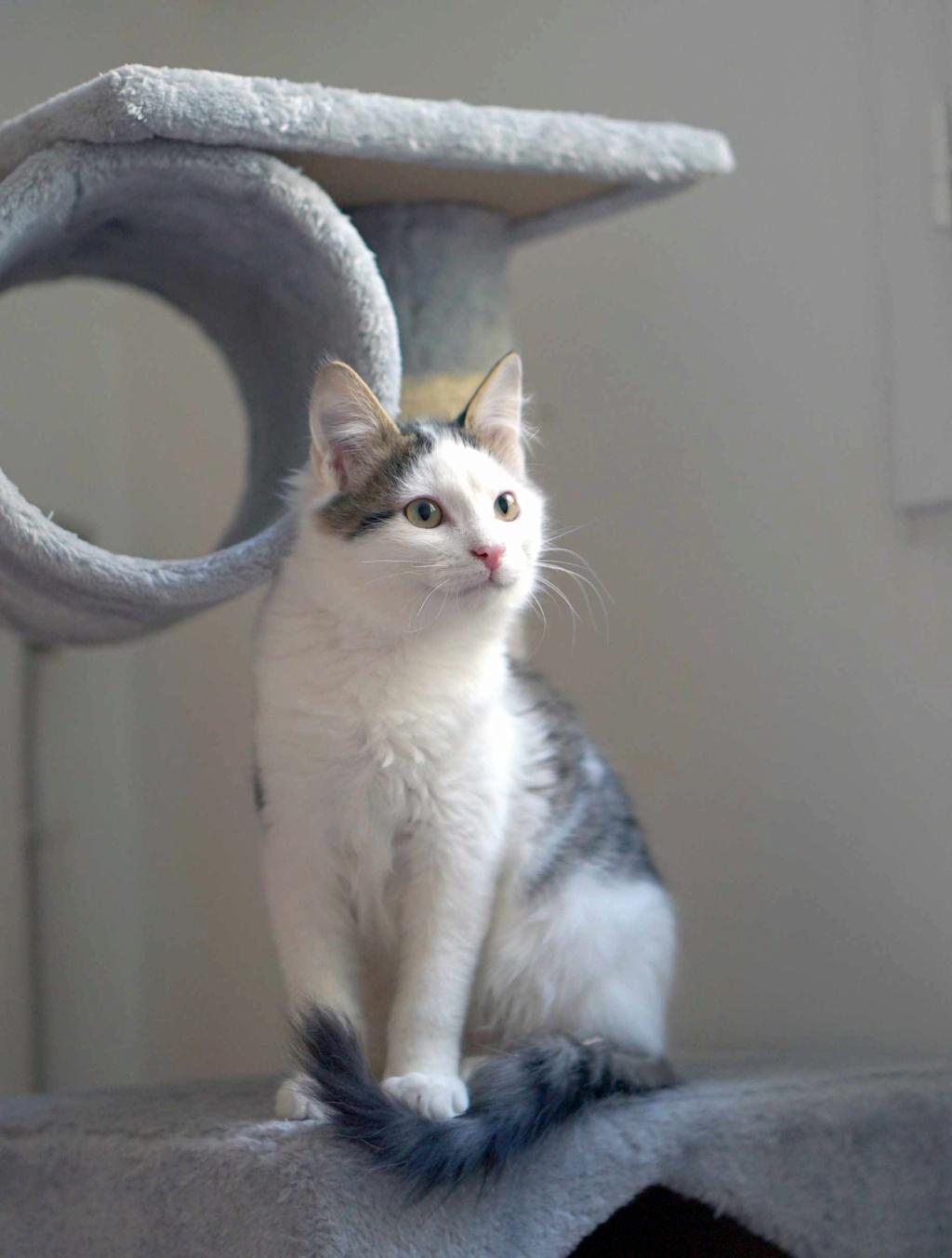 OXLAY, chaton européen tigré gris et blanc, poils mi-longs, né le 01/06/18 Oxlay_18