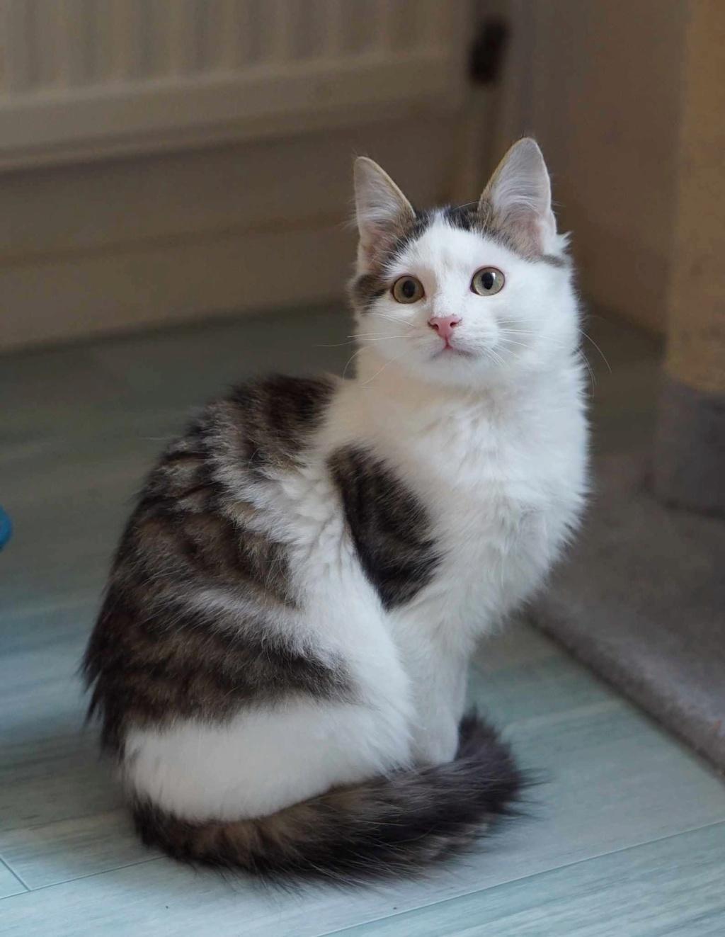 OXLAY, chaton européen tigré gris et blanc, poils mi-longs, né le 01/06/18 Oxlay_19
