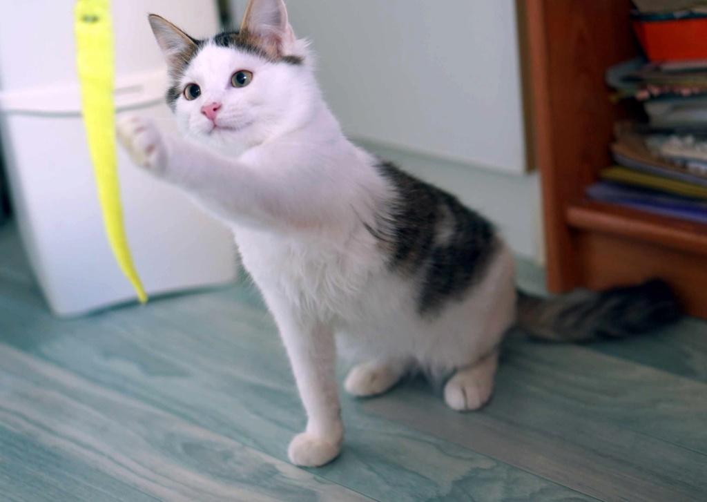 OXLAY, chaton européen tigré gris et blanc, poils mi-longs, né le 01/06/18 Oxlay_20