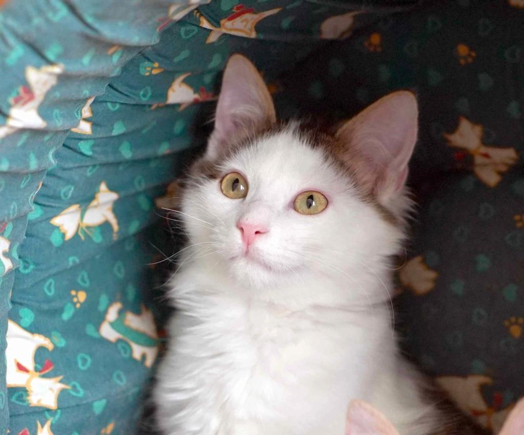 OXLAY, chaton européen tigré gris et blanc, poils mi-longs, né le 01/06/18 Oxlay_21