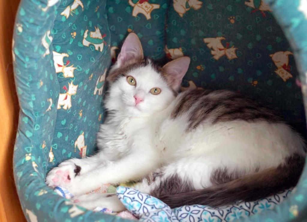 OXLAY, chaton européen tigré gris et blanc, poils mi-longs, né le 01/06/18 Oxlay_22