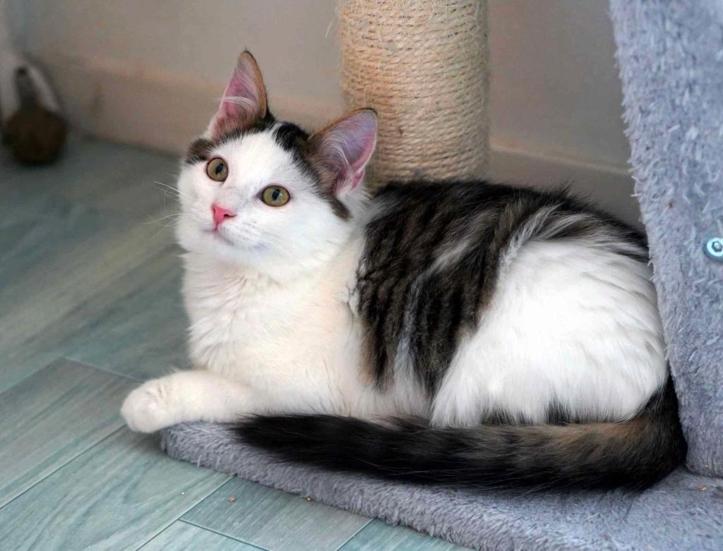 OXLAY, chaton européen tigré gris et blanc, poils mi-longs, né le 01/06/18 Oxlay_23