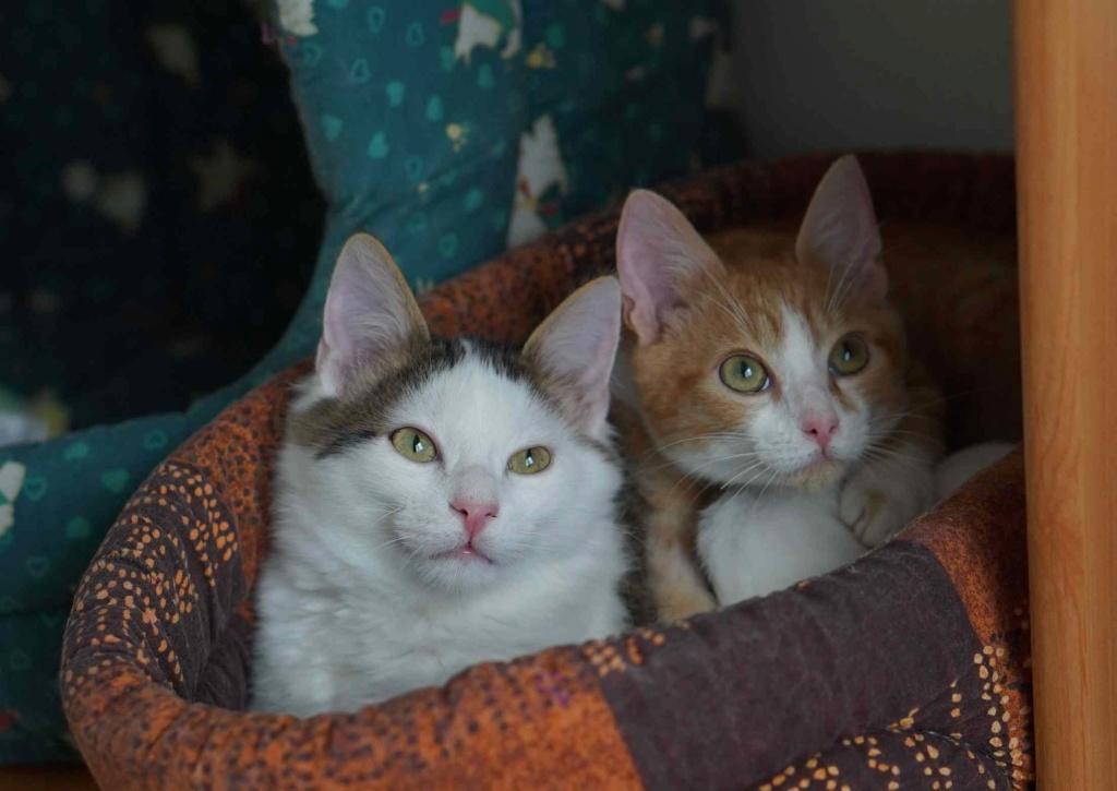OXLAY, chaton européen tigré gris et blanc, poils mi-longs, né le 01/06/18 Oxlay_24