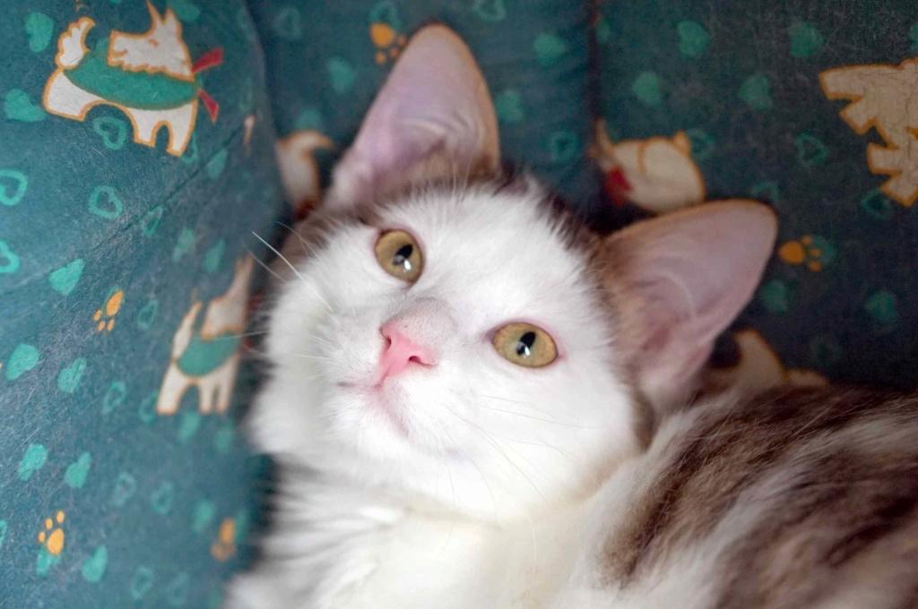 OXLAY, chaton européen tigré gris et blanc, poils mi-longs, né le 01/06/18 Oxlay_25