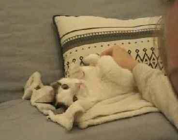 OXLAY, chaton européen tigré gris et blanc, poils mi-longs, né le 01/06/18 Oxlay_26