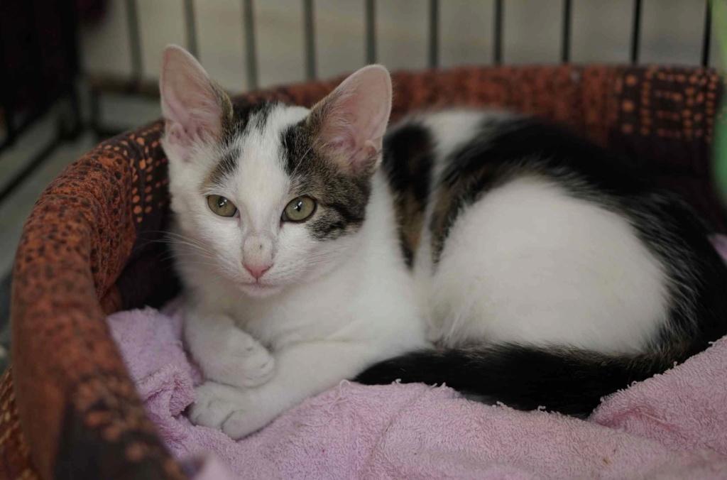 PARKER, chaton européen blanc noir tigré, né le 15/04/19  Parker11