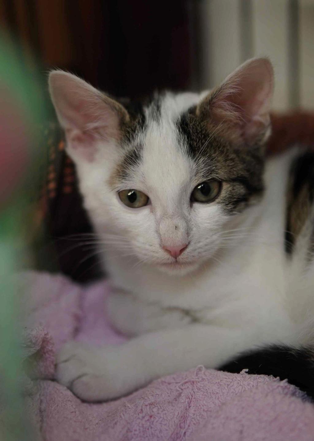 PARKER, chaton européen blanc noir tigré, né le 15/04/19  Parker12