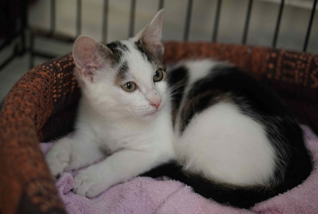 PARKER, chaton européen blanc noir tigré, né le 15/04/19  Parker14