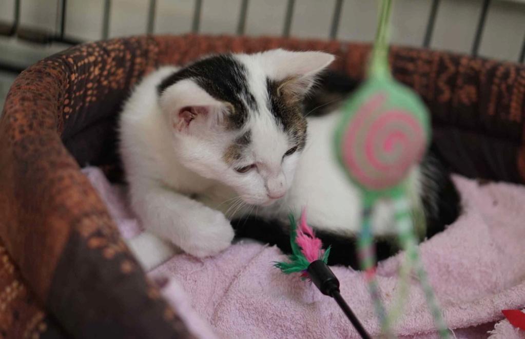 PARKER, chaton européen blanc noir tigré, né le 15/04/19  Parker15