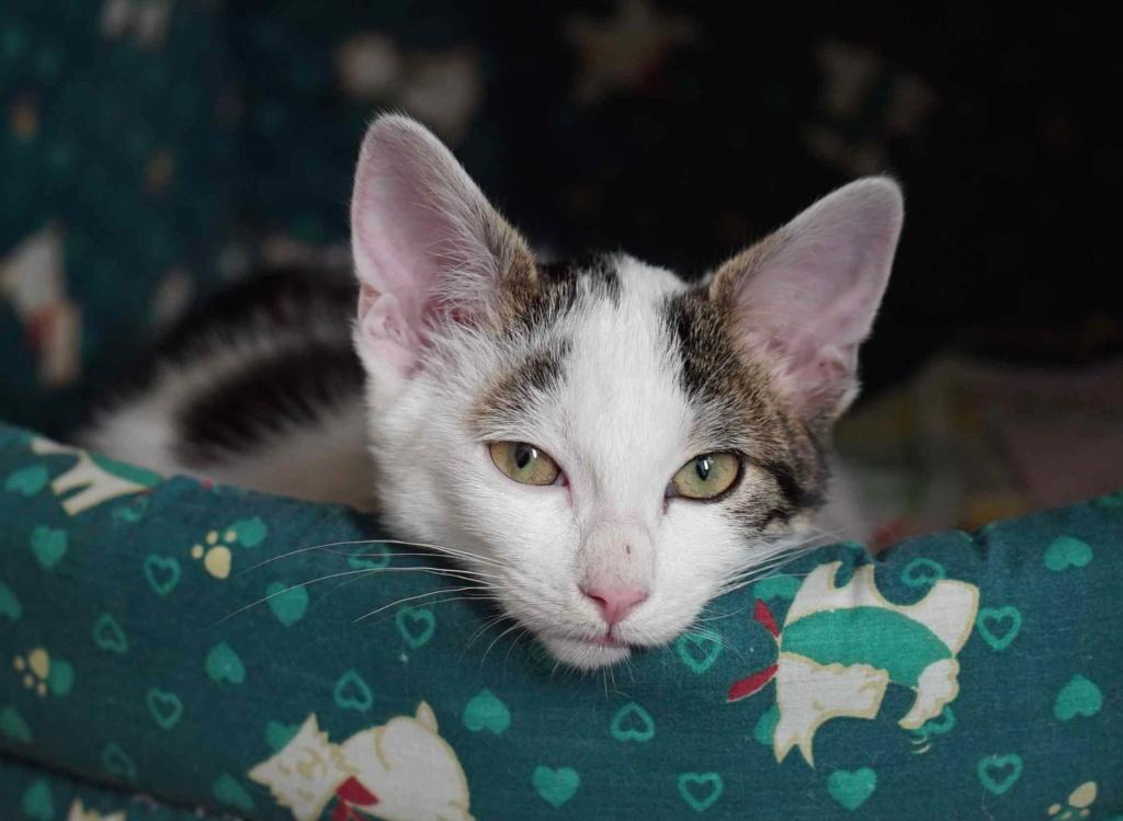 PARKER, chaton européen blanc noir tigré, né le 15/04/19  Parker17