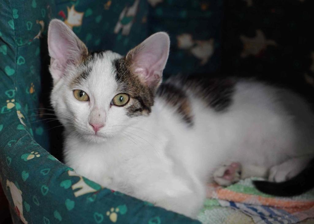 PARKER, chaton européen blanc noir tigré, né le 15/04/19  Parker18