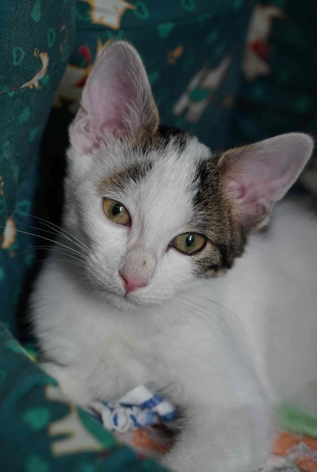 PARKER, chaton européen blanc noir tigré, né le 15/04/19  Parker19