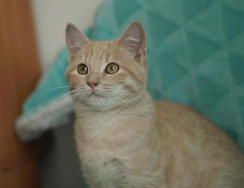 PATOU, chaton européen, crème tigré, né vers le 01/07/19 Patou_12