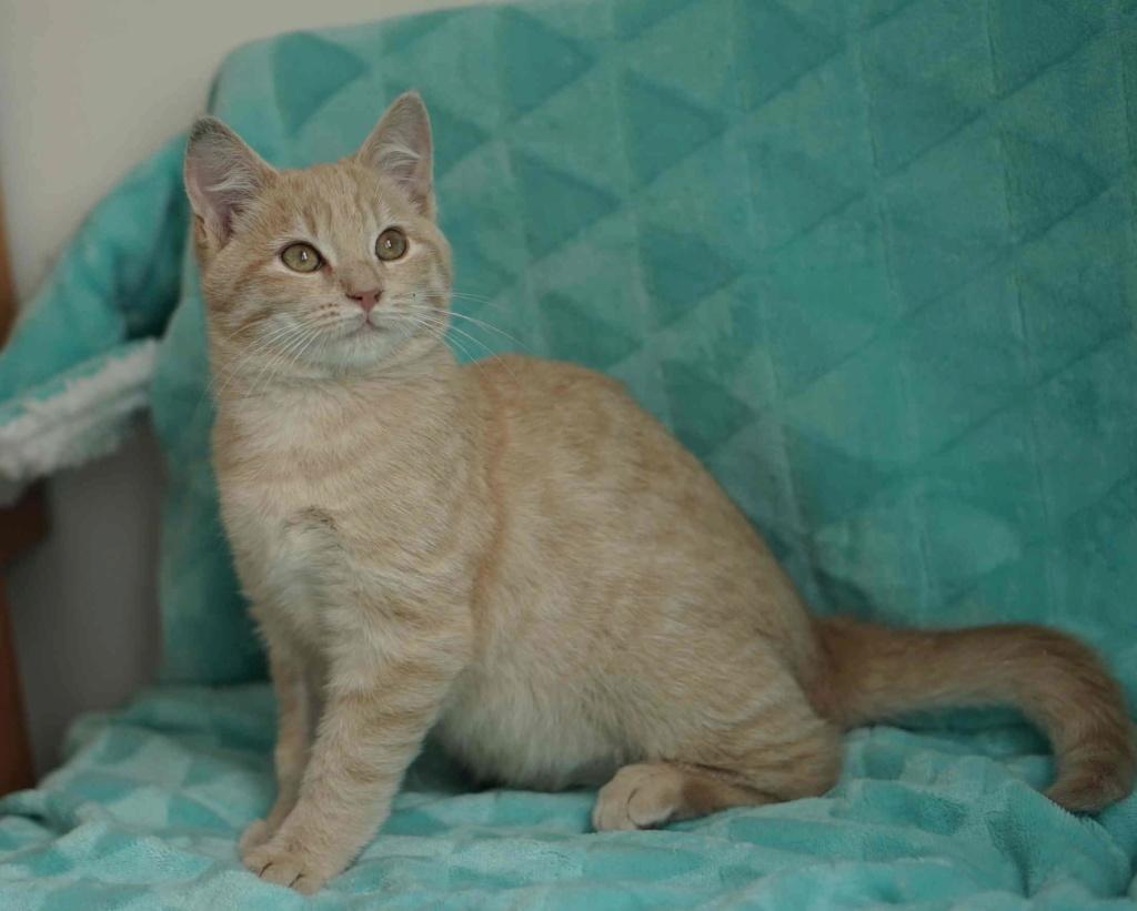 PATOU, chaton européen, crème tigré, né vers le 01/07/19 Patou_13