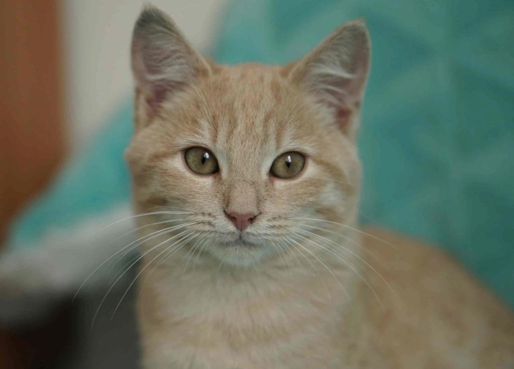 PATOU, chaton européen, crème tigré, né vers le 01/07/19 Patou_14