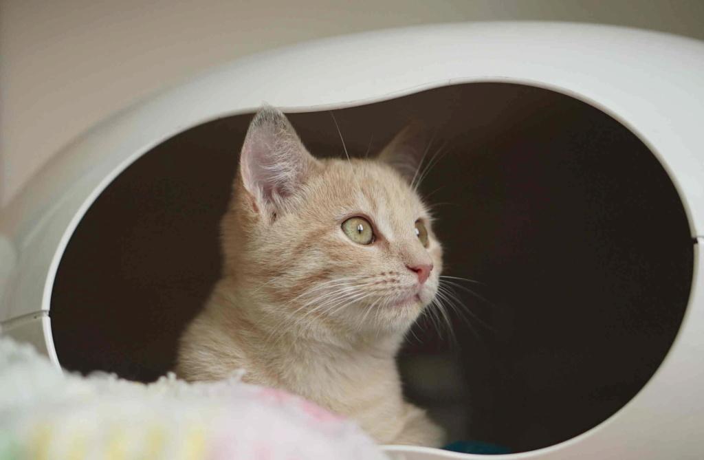 PATOU, chaton européen, crème tigré, né vers le 01/07/19 Patou_15