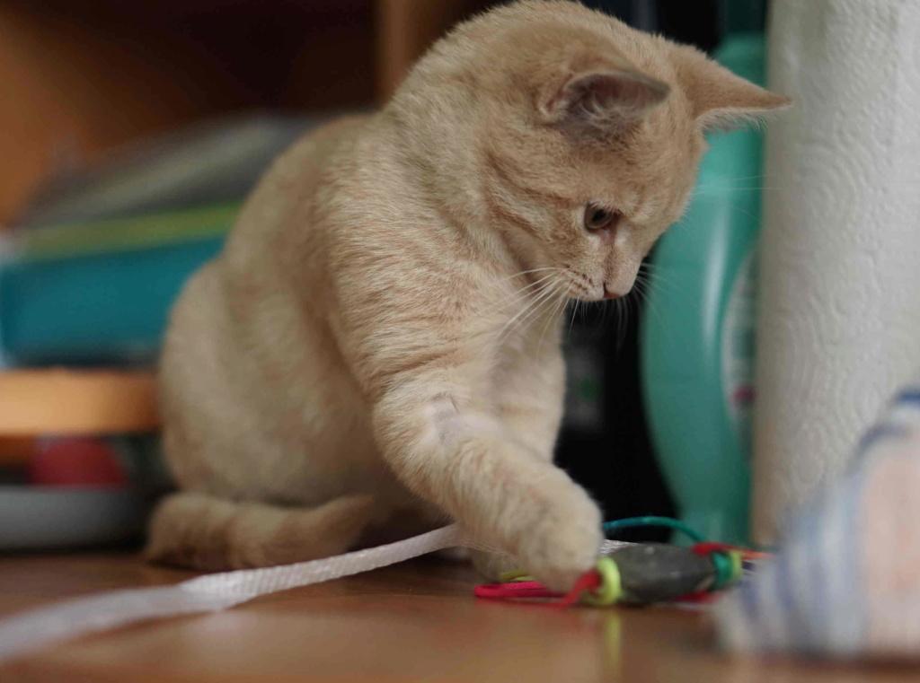 PATOU, chaton européen, crème tigré, né vers le 01/07/19 Patou_17