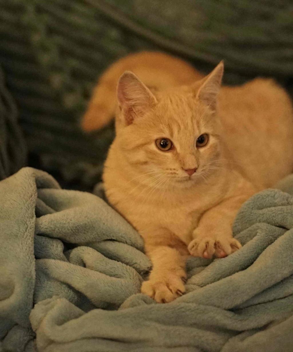 PATOU, chaton européen, crème tigré, né vers le 01/07/19 Patou_19