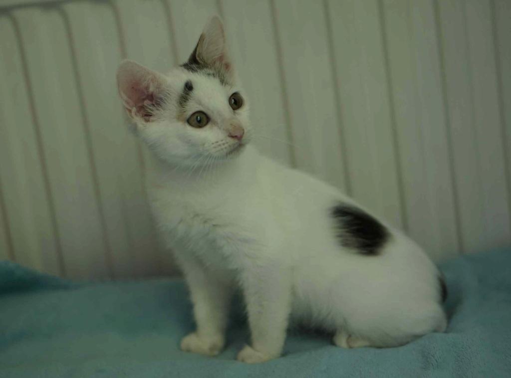 POLO, chaton européen blanc taches tigrées, né le 01/05/19 Polo_111
