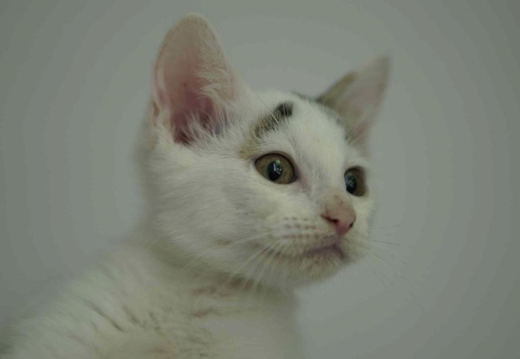 POLO, chaton européen blanc taches tigrées, né le 01/05/19 Polo_211