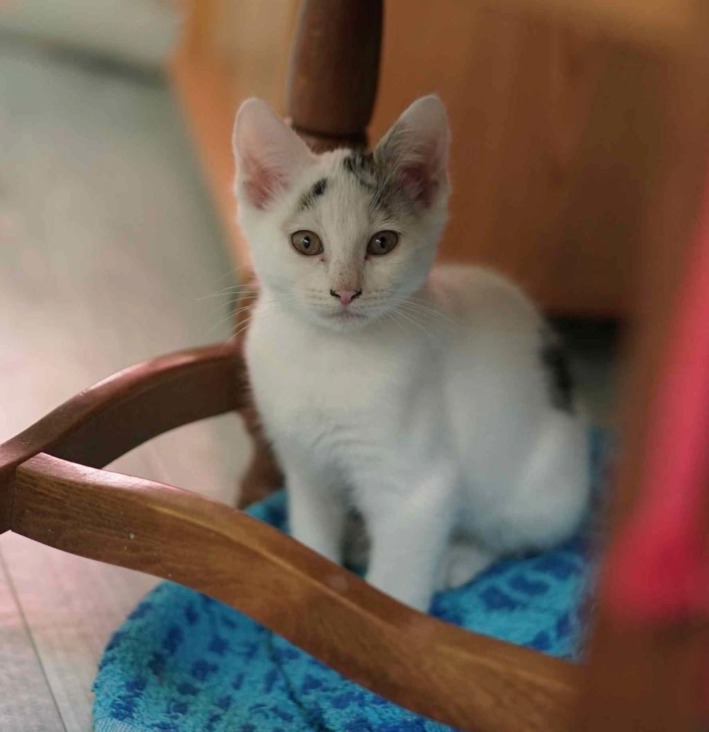 POLO, chaton européen blanc taches tigrées, né le 01/05/19 Polo_310