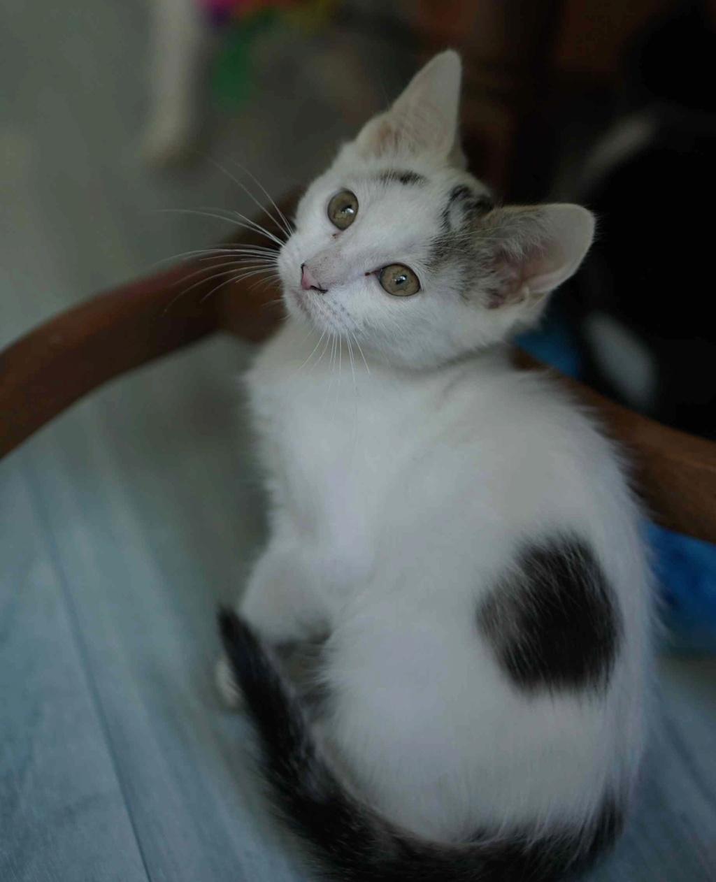 POLO, chaton européen blanc taches tigrées, né le 01/05/19 Polo_410