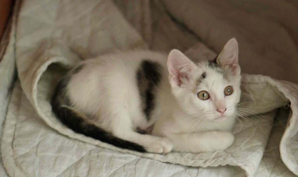 POLO, chaton européen blanc taches tigrées, né le 01/05/19 Polo_510