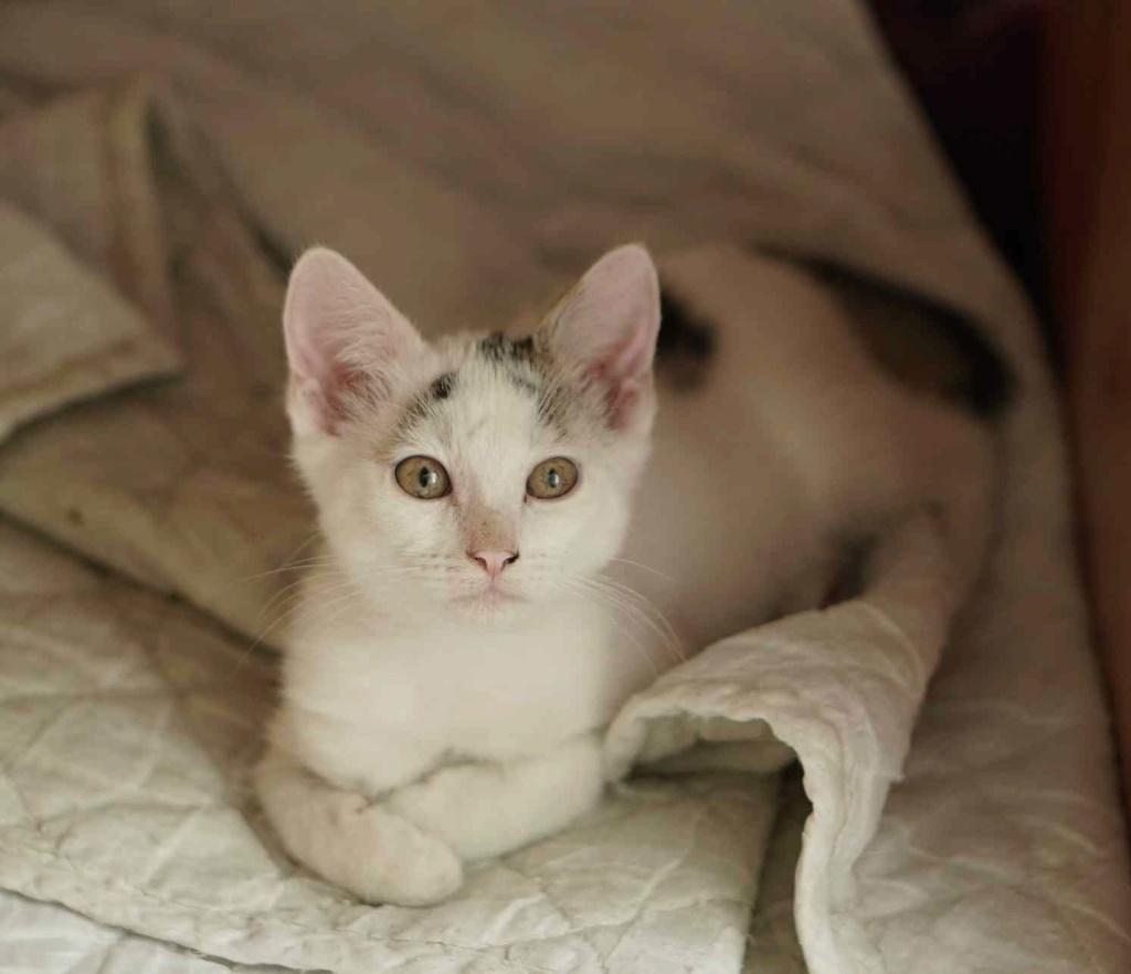 POLO, chaton européen blanc taches tigrées, né le 01/05/19 Polo_610