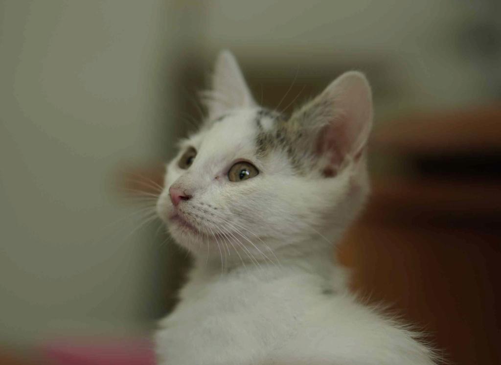POLO, chaton européen blanc taches tigrées, né le 01/05/19 Polo_710