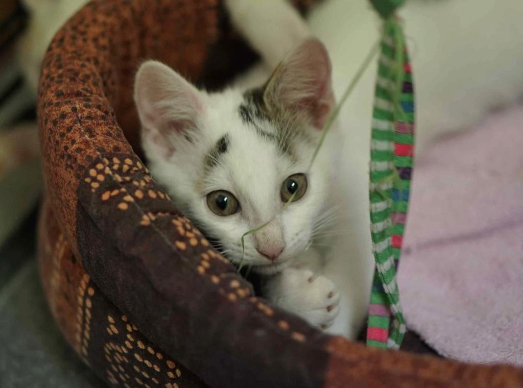POLO, chaton européen blanc taches tigrées, né le 01/05/19 Polo_810