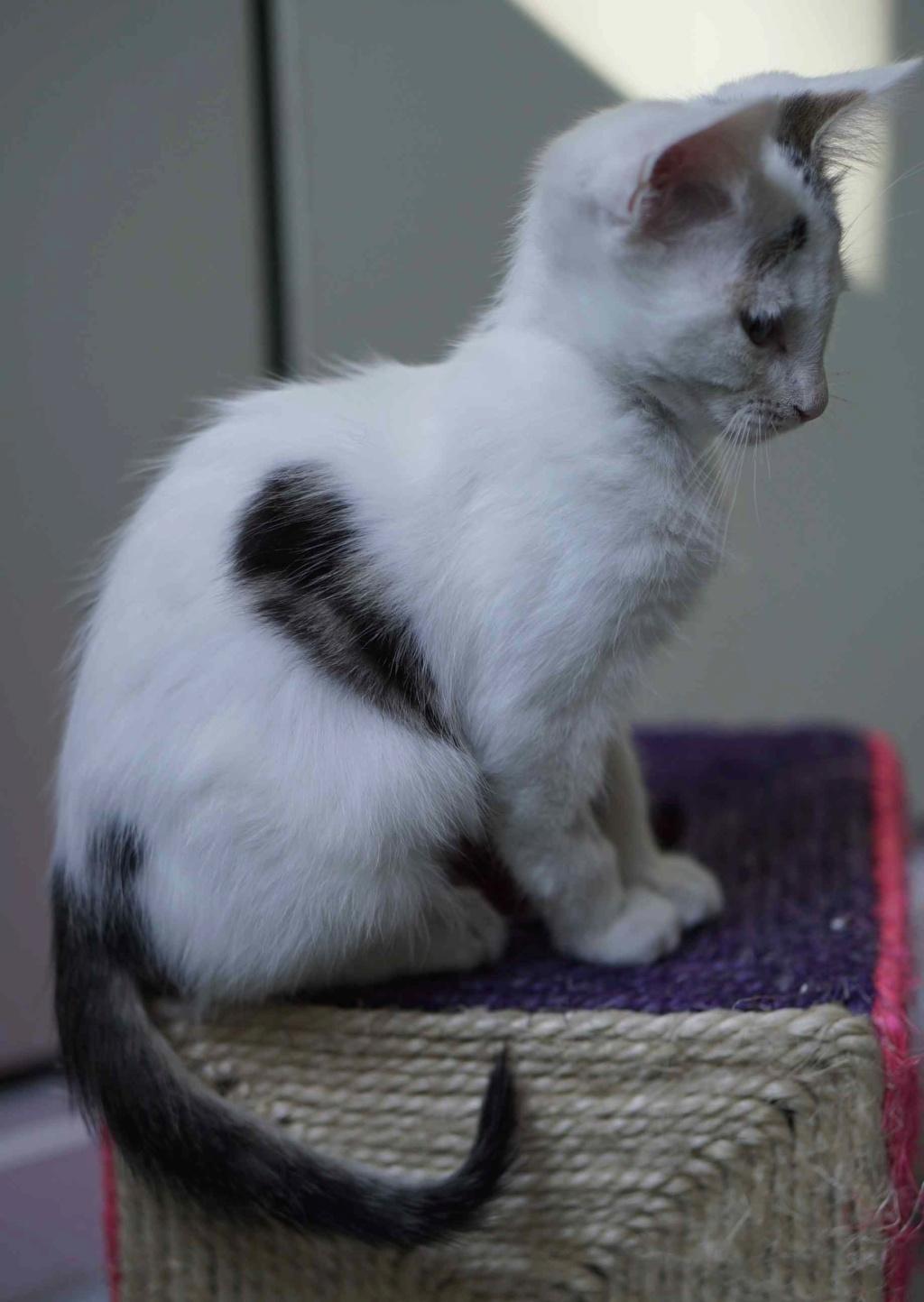 POLO, chaton européen blanc taches tigrées, né le 01/05/19 Polo_910