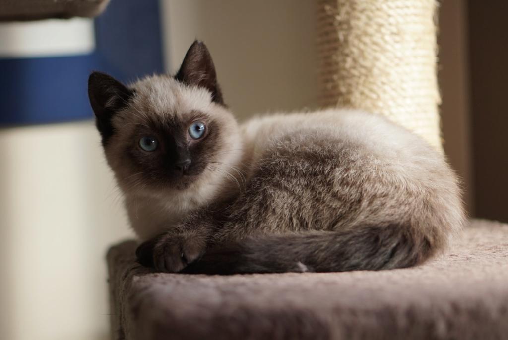 RIWEL, chaton européen seal point, né le 01/09/20 Riwel_11