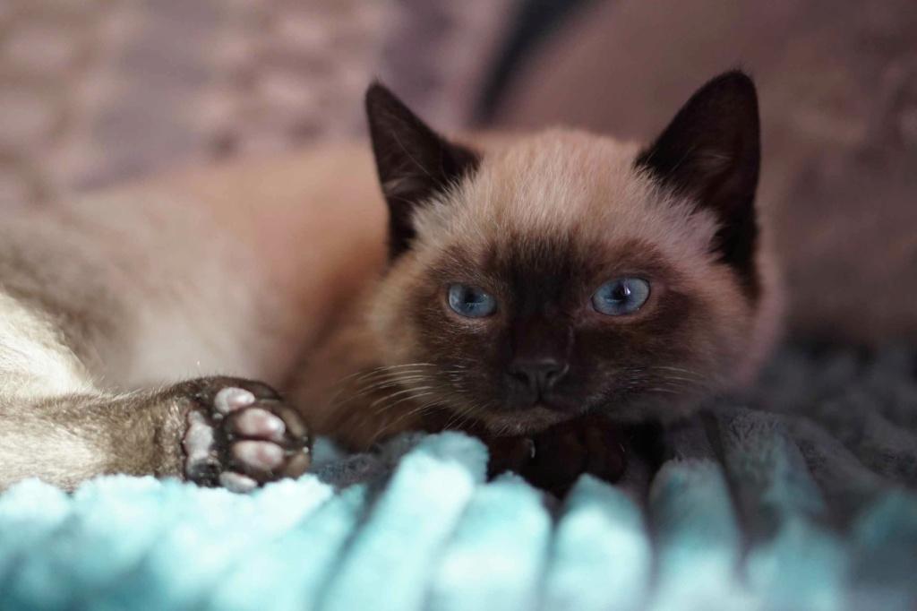 RIWEL, chaton européen seal point, né le 01/09/20 Riwel_12