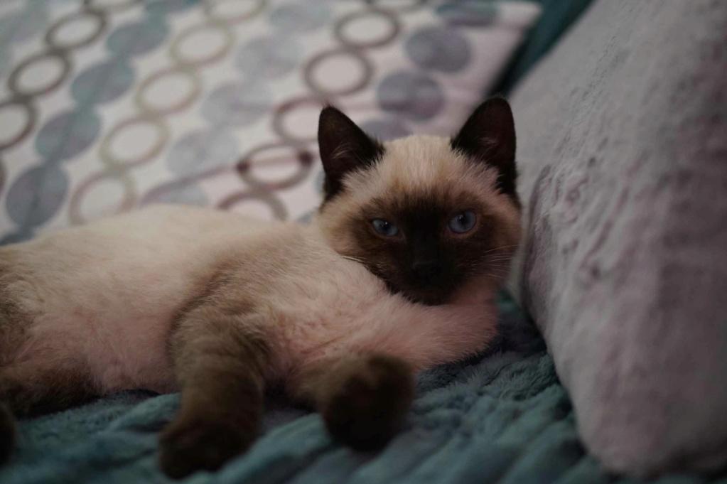 RIWEL, chaton européen seal point, né le 01/09/20 Riwel_13