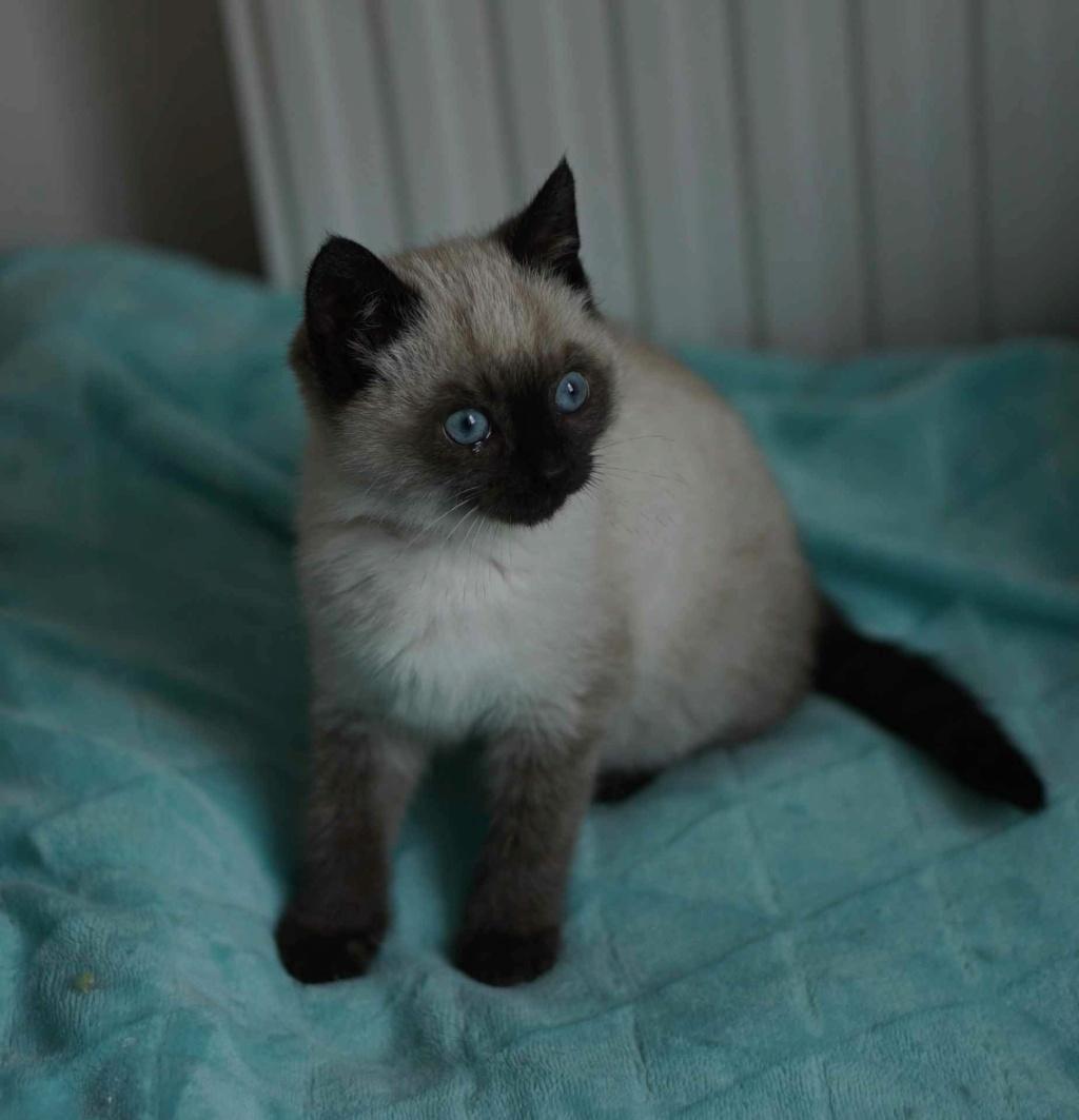 RIWEL, chaton européen seal point, né le 01/09/20 Rwana_18
