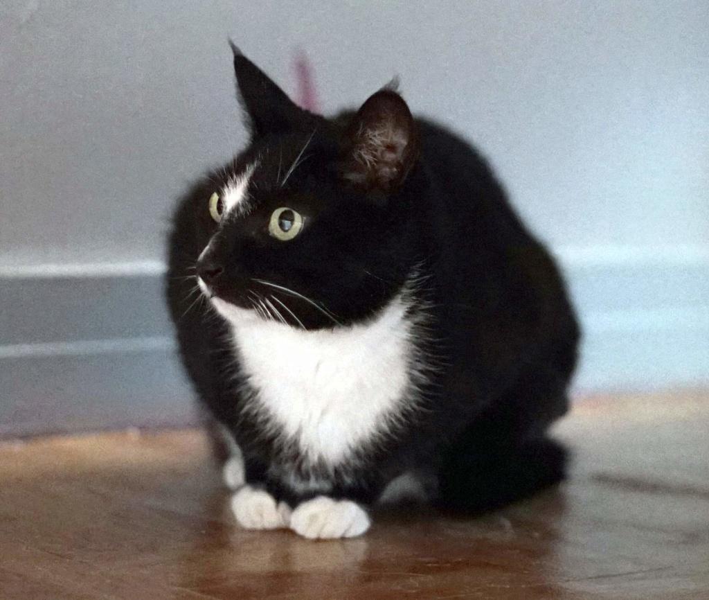 SCOUBI chat européen noir et blanc né en juin 2012  Scoubi10
