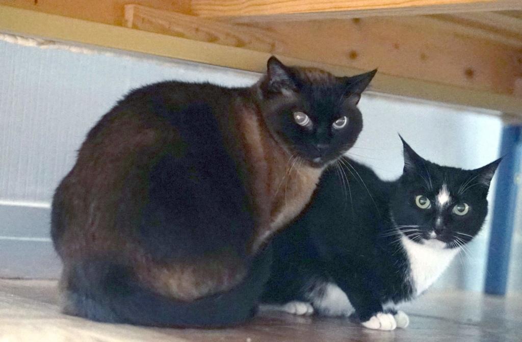 SCOUBI chat européen noir et blanc né en juin 2012  Scoubi12